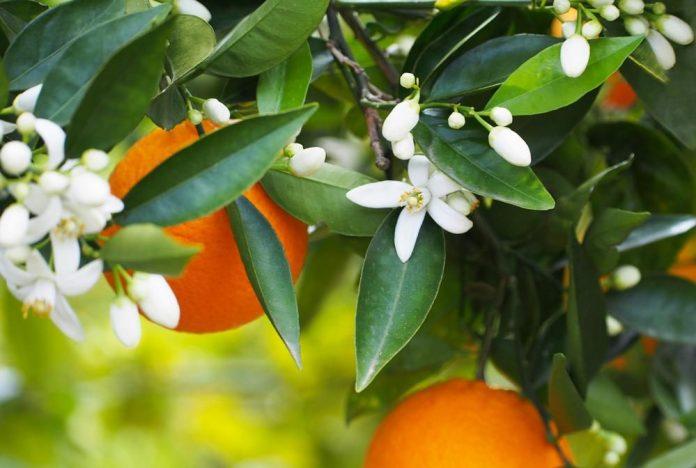 بهارنارنج ، محرک معده ، محافظ قلب ، محافظ  کبد می باشد . این گیاه کاهش دهنده ی کلسترول و قند خون ، کاهش دهنده ی چربی خون ، کاهش دهنده ی پرفشاری خون ، کاهش دهنده ی اسید اوریک و محرک سیستم ایمنی بدن است.